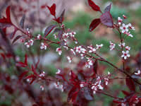 caring for your plum tree savatree