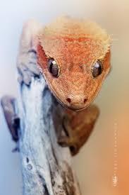 halloween mask leopard gecko 980 best snakes reptiles images on pinterest lizards amphibians