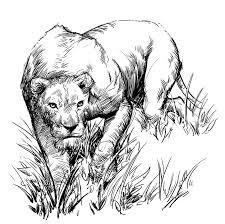 lion sketch by jedi art trick on deviantart