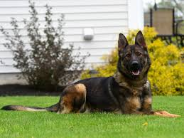 belgian malinois new zealand available dogs protection dogs