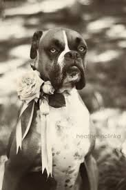 boxer dog 2015 diary 314 best boxer love images on pinterest boxer love animals and