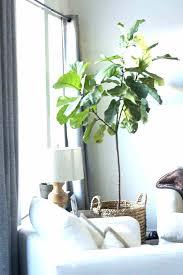 low light indoor trees stunning indoor trees for sale ideas decoration design ideas