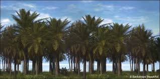 palm trees backdrop backdrops beautiful