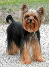 male yorkie haircuts 20 adorable yorkie haircuts yorkie hair styles to try right now