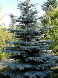 Good Backyard Trees by The 25 Best Blue Spruce Tree Ideas On Pinterest Blue Spruce