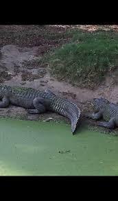 alligator wallpaper hd wallpapers of alligators amazon com au