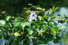 australian native aquatic plants water hyacinth eichhornia crassipes feedipedia