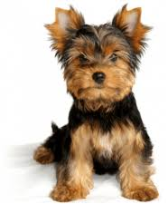 puppies for sale pa yorkie puppies for sale in pa ridgewood s yorkie puppy adoptions