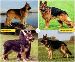 belgian sheepdog size and weight 11 dog breeds like the german shepherd pethelpful