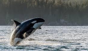 Whale Tofino Whale Centre The Whale Centre