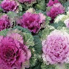gifts for gardeners ornamental kale circle