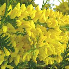 Highly Fragrant Plants Top Flowers U0026 Foliage Ornamental Trees