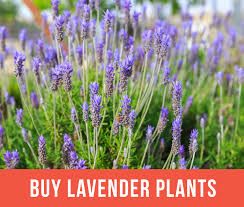 plants native to france growing lavender planting u0026 caring for lavender plants garden