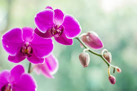 moth orchid orchid meaning and symbolism ftd