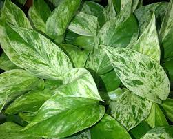 Indoor Vine Plant The Tattooed Gardener Top 10 Houseplants For Low Light