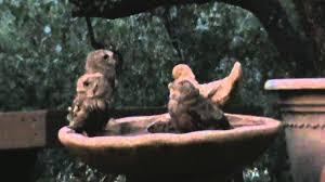 baby owls in bird bath youtube