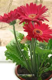 best 25 gerbera plant ideas on pinterest front porch flowers
