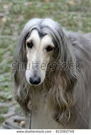 afghan hound therapy dog dog breed afghan hound stock photo 327105782 shutterstock