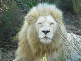 male lion wallpapers male white lion images