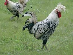 chicken breeds with green legs dual purpose breed for sale