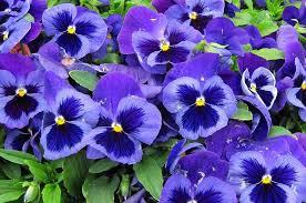 fiori viola pans礙 fiori invernali casafacile