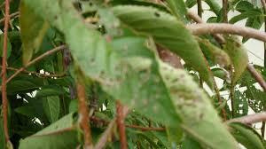 weeping cherry tree problems ubc botanical garden forums
