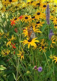 butterfly and hummingbird garden kit for drier soils prairie