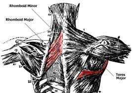 Anatomy Of Human Back Muscles Anatomy Of The Back Muscles Lats Teres Major Teres Minor