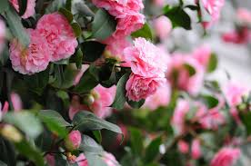 japanese native plants camellia flowers a classic southern shrub