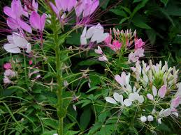 Cleome Flower - cleome spider flower queen mix 0 50 g southern exposure seed