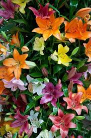 best 25 asiatic lilies ideas on pinterest lilies lilies