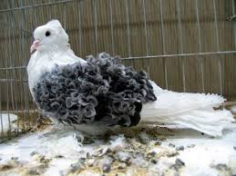 frillback pigeons fancy pigeon breeds