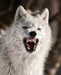 Mad Wolf Meme - mad wolf photo this photo was uploaded by metalwarrior8 find