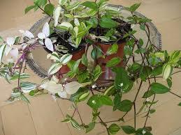 wandering jew plant inch plant tradescantia zebrina zebrina