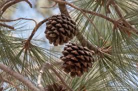 white pine cone pinus pine