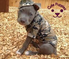 american pitbull terrier qualities these 50 little puppies will make you smile u2013 cute puppies now