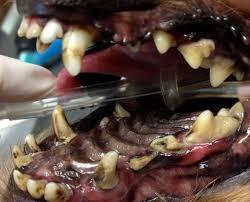 bichon frise 6 years old 8 year old yorkie needs 18 teeth removed virtuavet