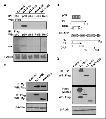 Anti Flag Antibody Ggap2 Pike A Directly Activates Both The Akt And Nuclear Factor κb