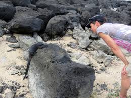 iguana island with apologies to the marine iguanas of galapagos travel tales