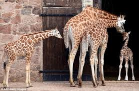 Giraffe Floor L Newborn Giraffe Makes Its Appearance At Chester Zoo