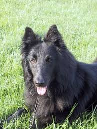 belgian sheepdog laekenois belgian sheepdog laekenois puppy dogs pinterest puppies
