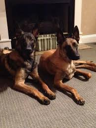 belgian shepherd rescue dogs breeder trainer u0026 seller of world class pedigree belgian malinois