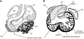 human heart structure black and white diagram of human heart with