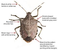 Bed Bugs Smell What Are Stinkbugs And How To Kill Them