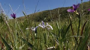 san francisco native plants about th mountain u2014 san bruno mountain watch