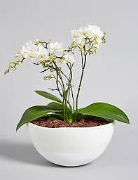orchid flowers orchids orchid flowers plants phalaenopsis orchid m s