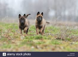 belgian sheepdog breeds dog belgian shepherd malinois two puppies running in a field
