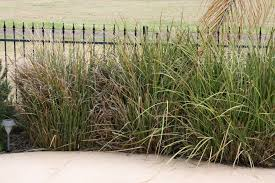 pruning ornamental grass and identification