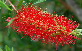bottlebrush tree for sale cape coral