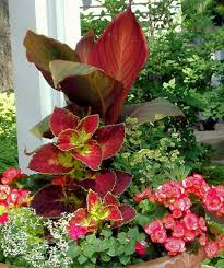 90 best cannas in the garden pots images on pinterest flowers